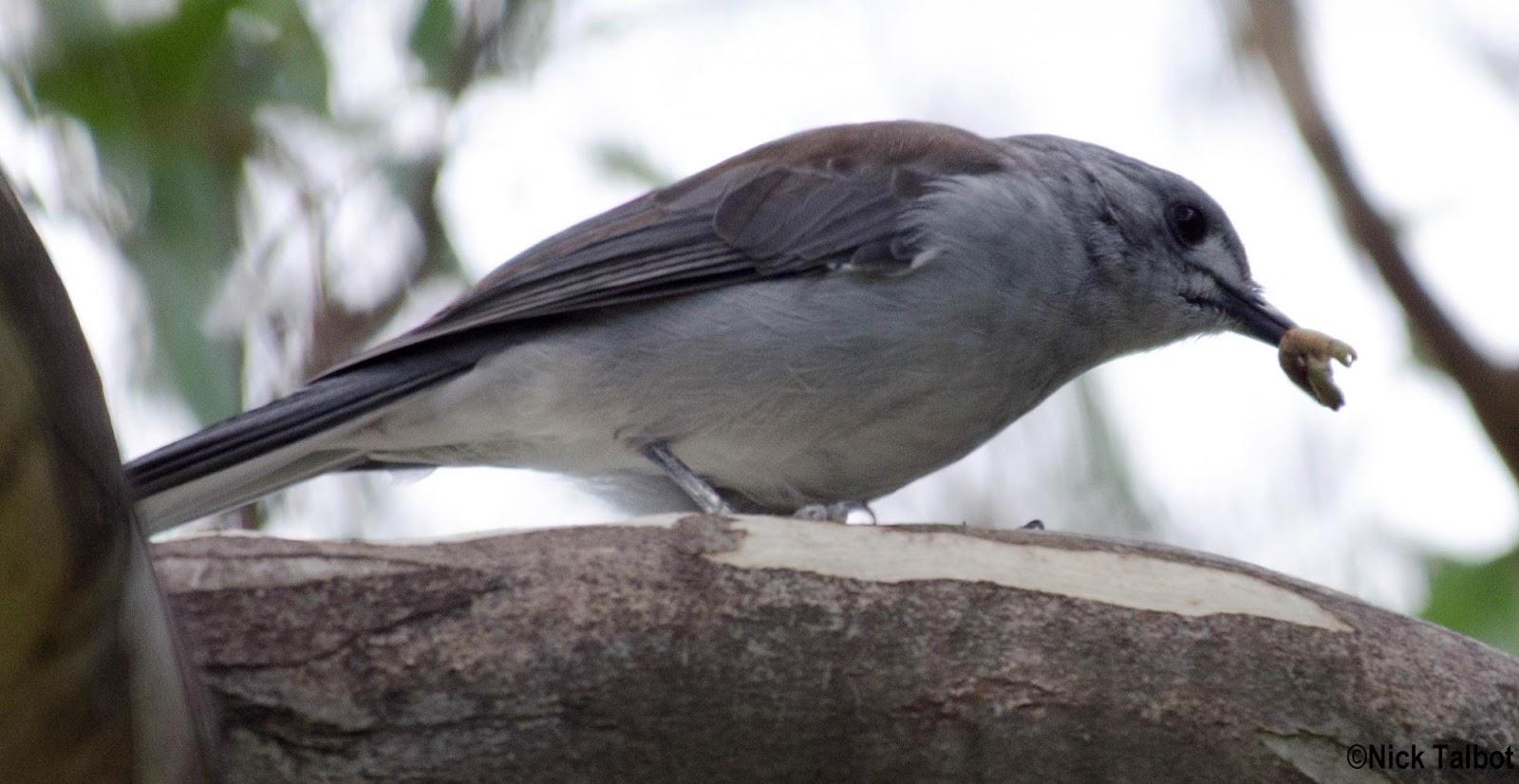 Shrike-thrush
