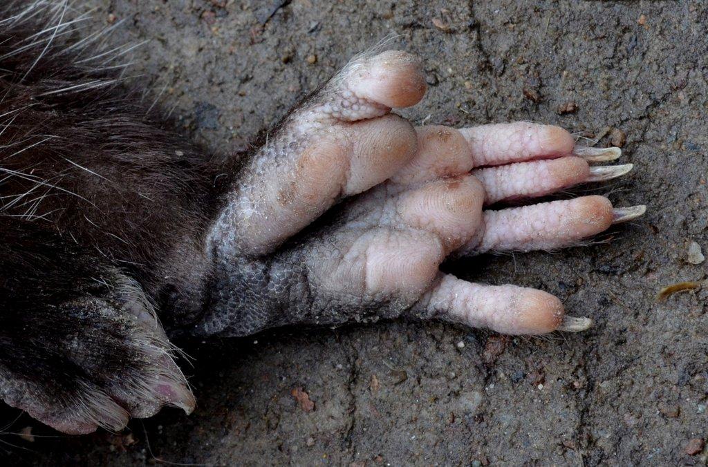 Bàn chân chồn possum