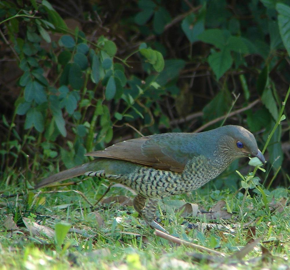Chim Satin bowerbird mái