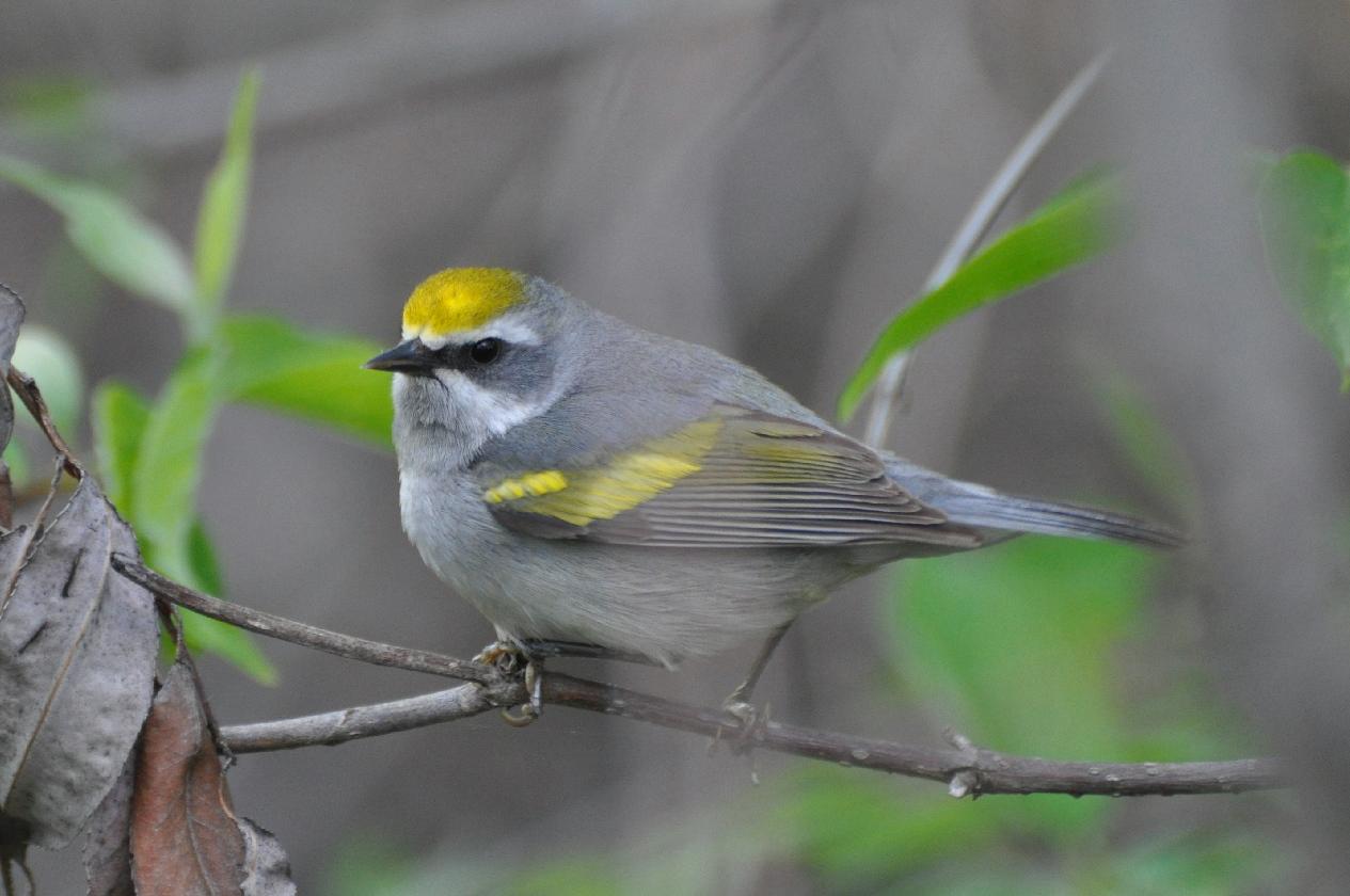 Chim chích cánh vàng