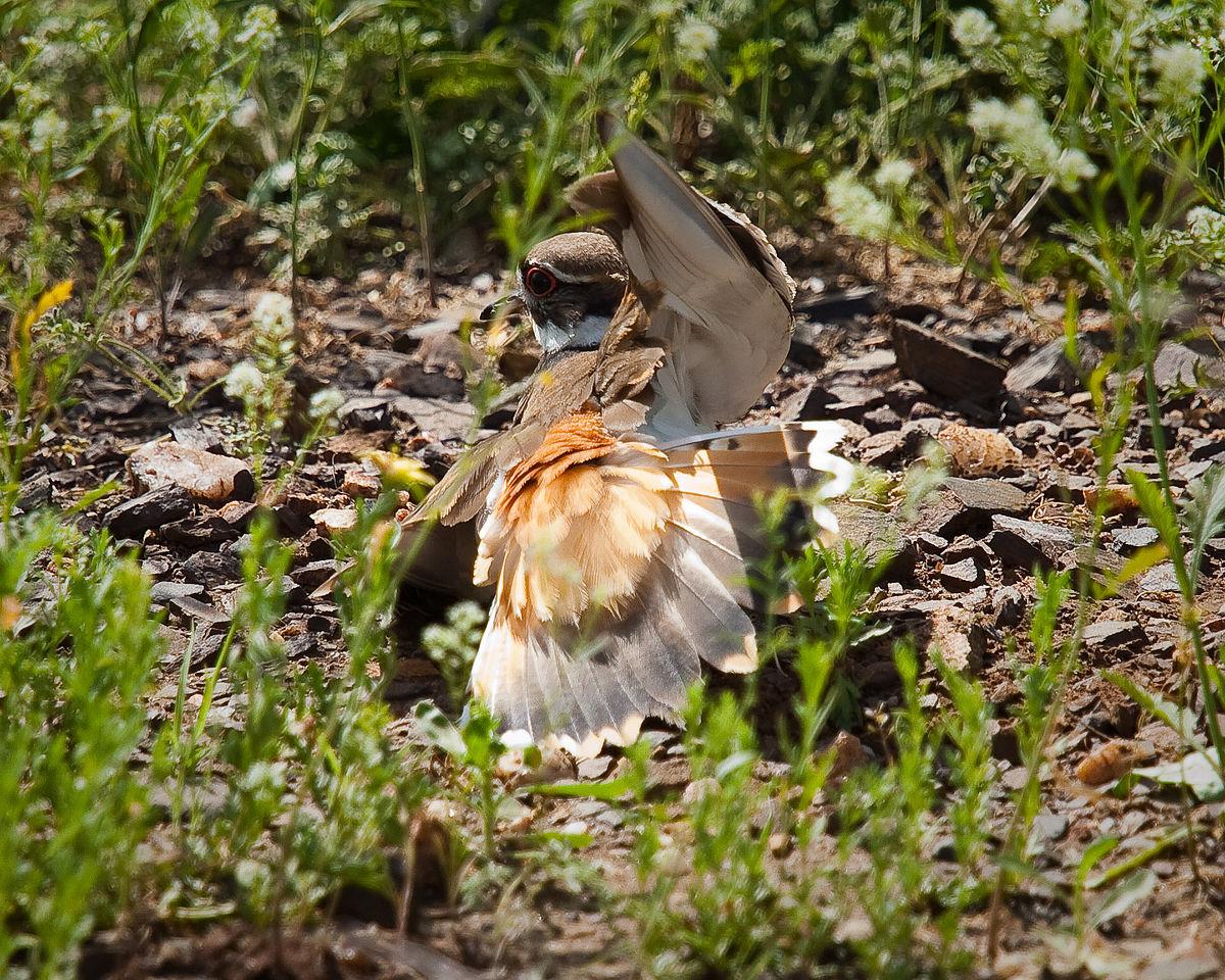 Chim Killdeer giả gãy cánh lừa kẻ thù ra khỏi tổ