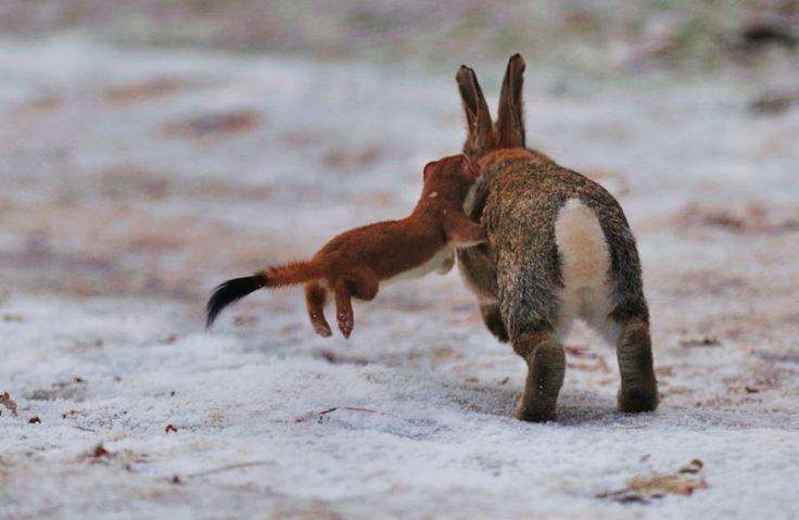 Chồn ecmin săn thỏ