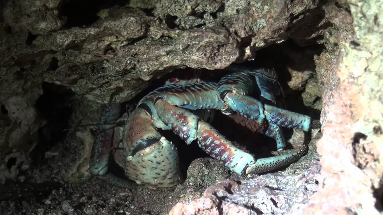 Cua dừa trong hang