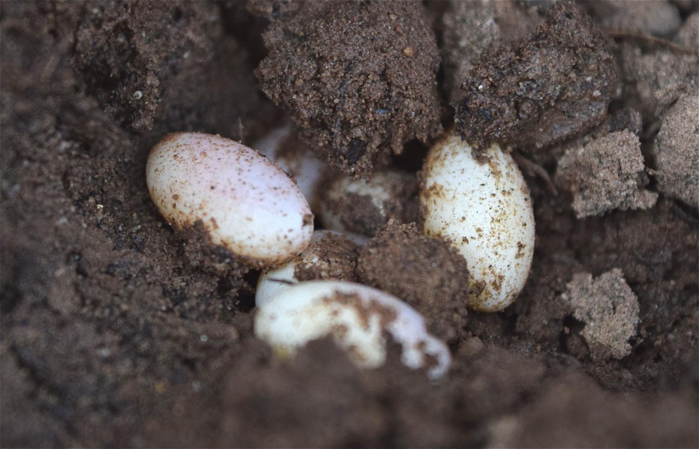 Tổ và trứng kỳ tôm
