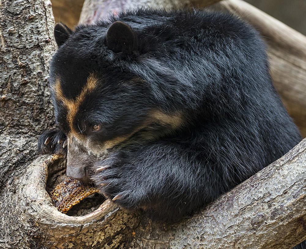 Một con gấu đang ăn thịt nai