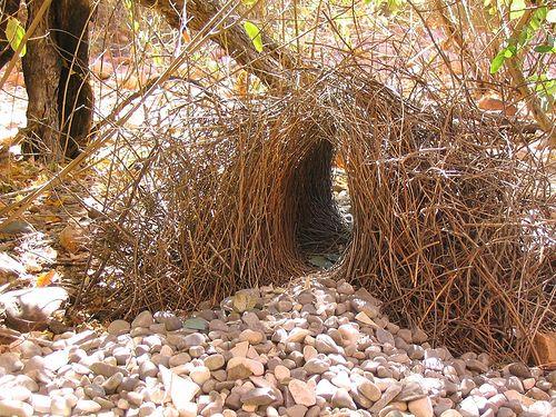 Tổ chim Satin bowerbird