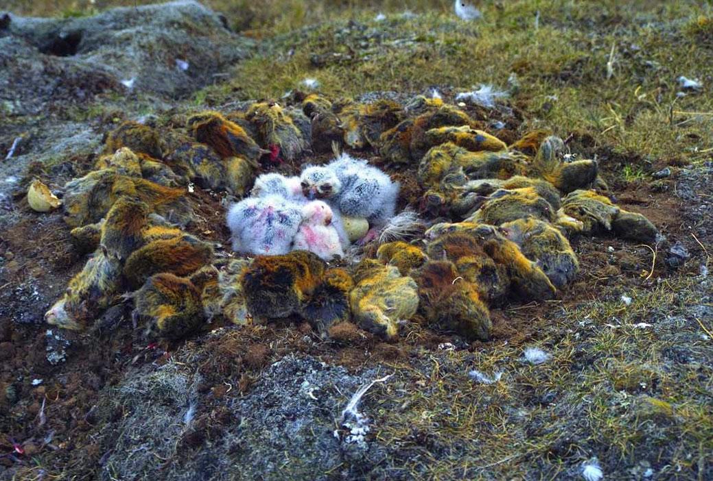 Tổ chim cú tuyết với nhiều xác chuột
