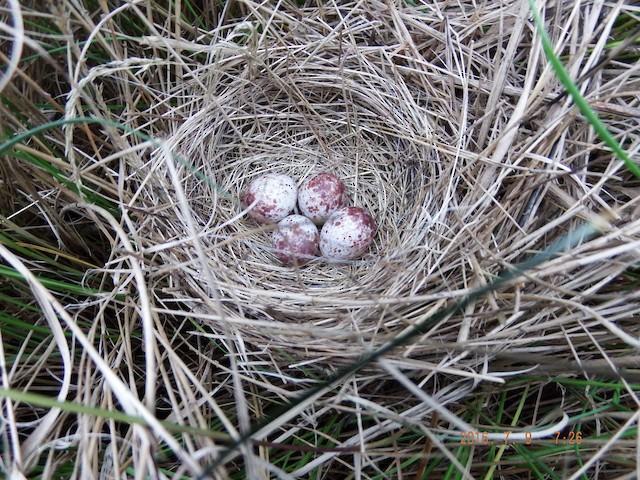 Tổ chim Saltmarsh Sparrow