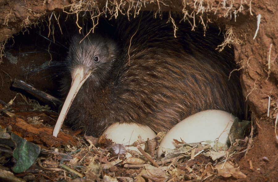 Tổ chim kiwi