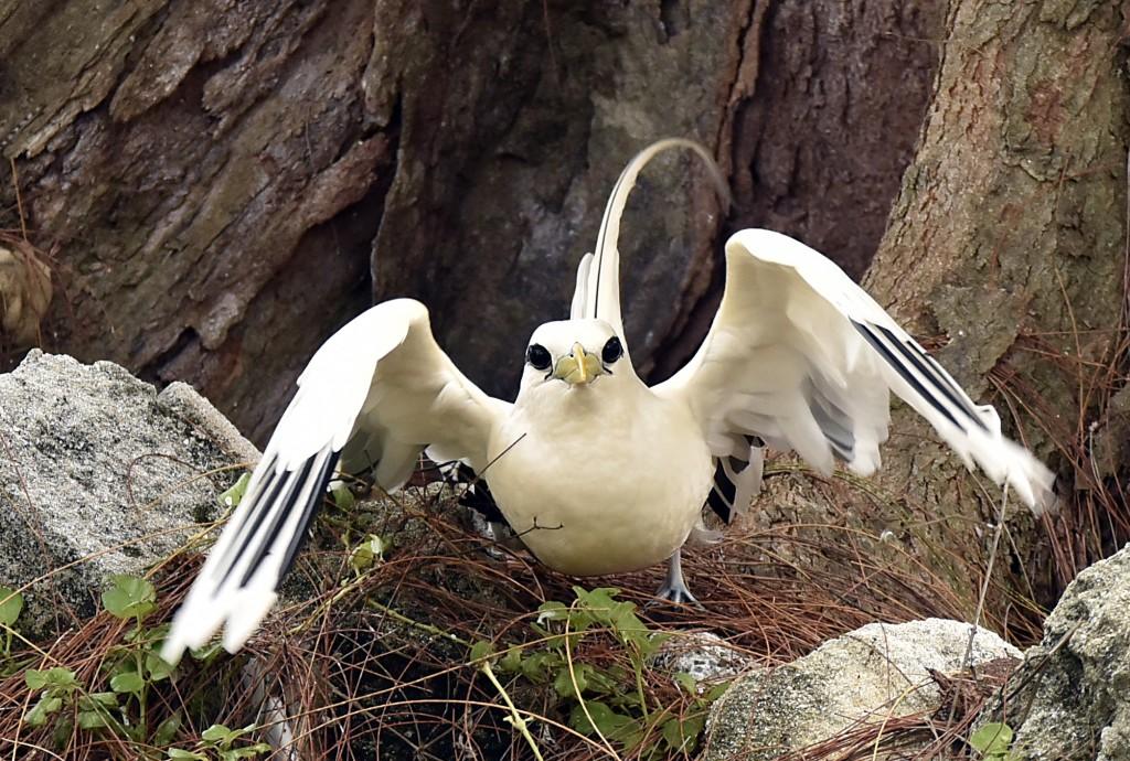 Chim nhiệt đới đuôi trắng săn mồi