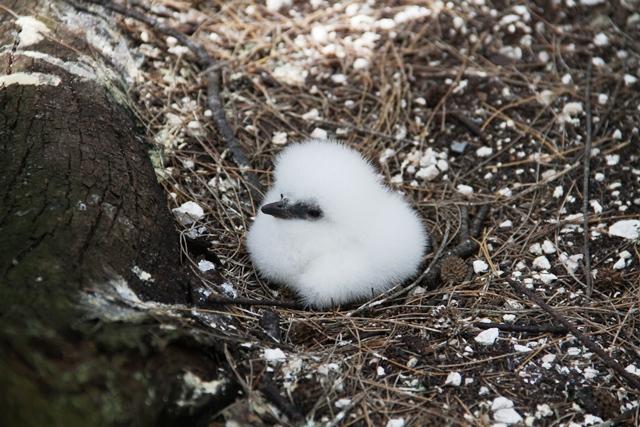 Tổ chim nhiệt đới đuôi trắng