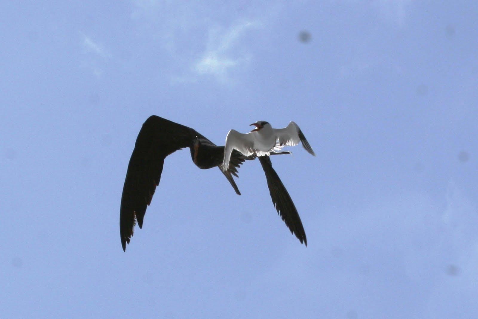 Chim nhiệt đới đuôi trắng bị cướp thức ăn