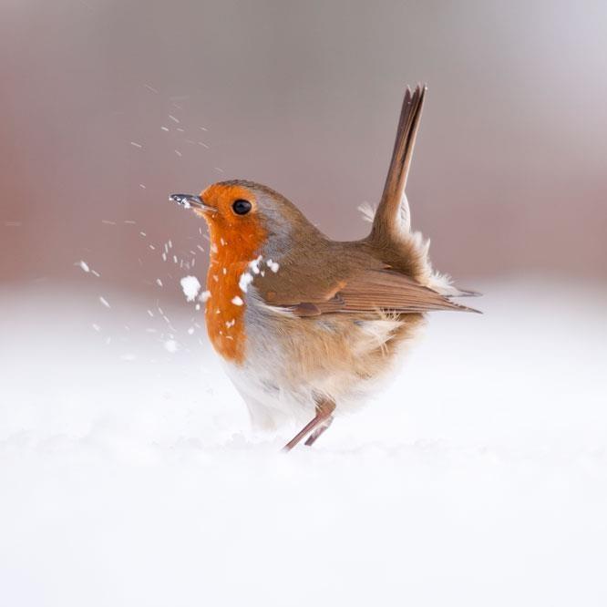 Chim oanh châu Âu