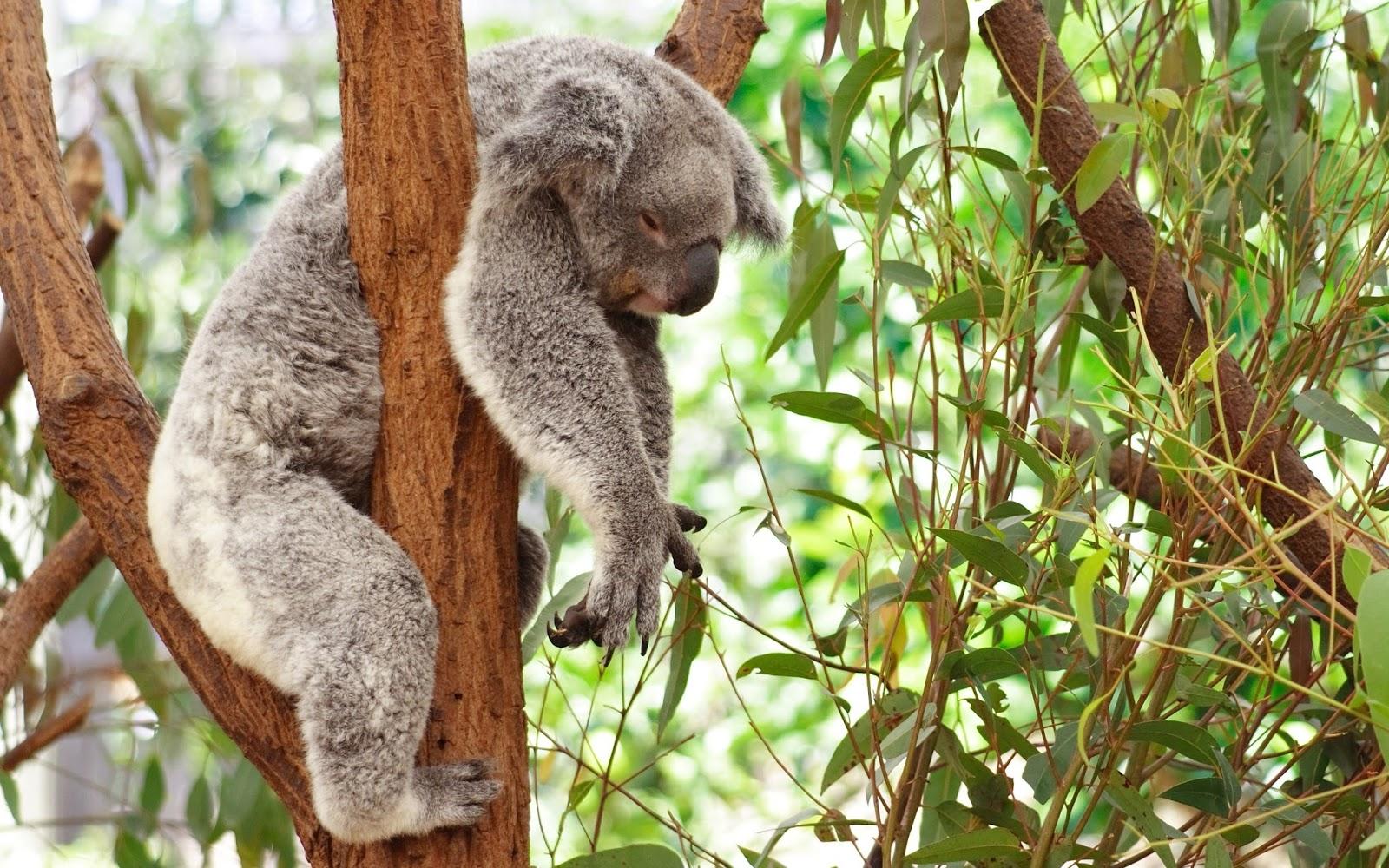 Gấu Koala