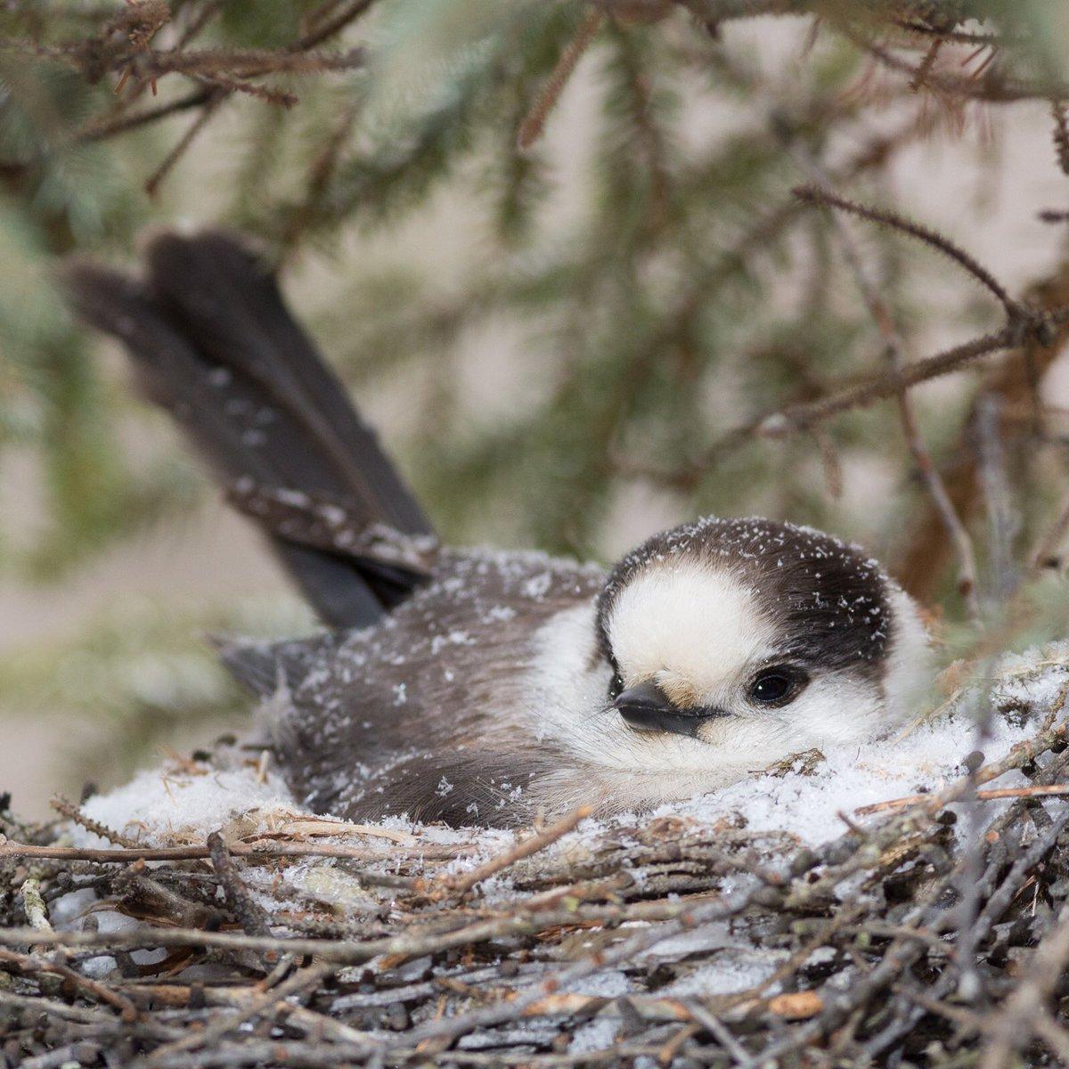 Tổ chim Grey jay