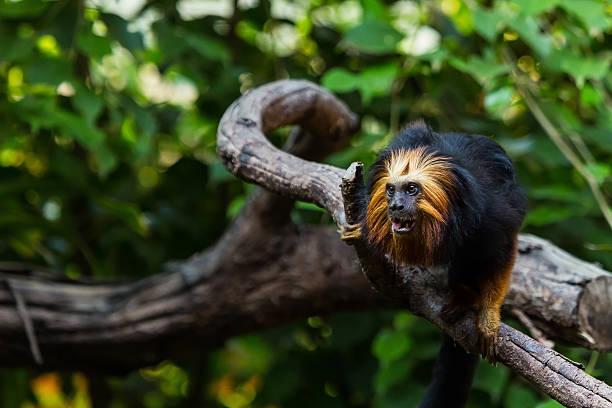 Khỉ sư tử đầu vàng