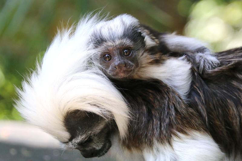 Khỉ sóc đầu trắng