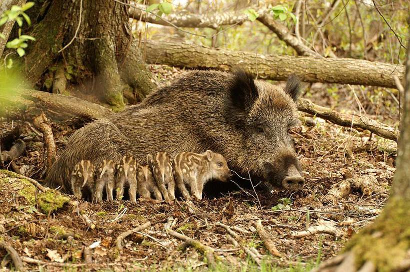 Lợn rừng non