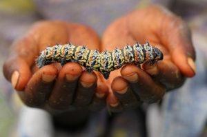 Sâu mopane là nguồn thực phẩm của người Nam Phi