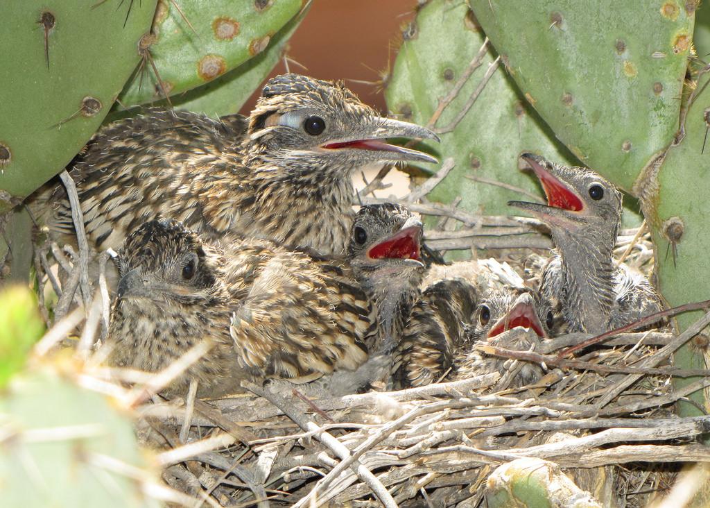 Tổ chim chẹo đất