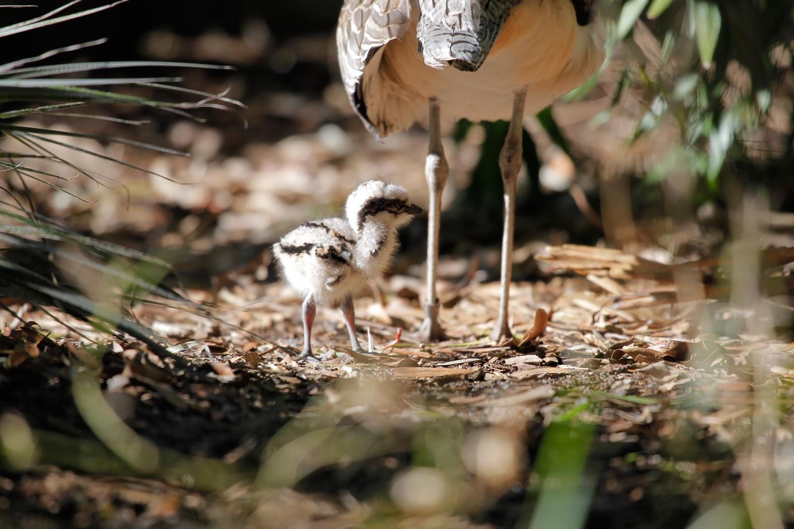 Chim non Bush stone-curlew