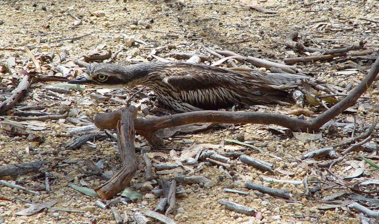 Chim Bush stone-curlew