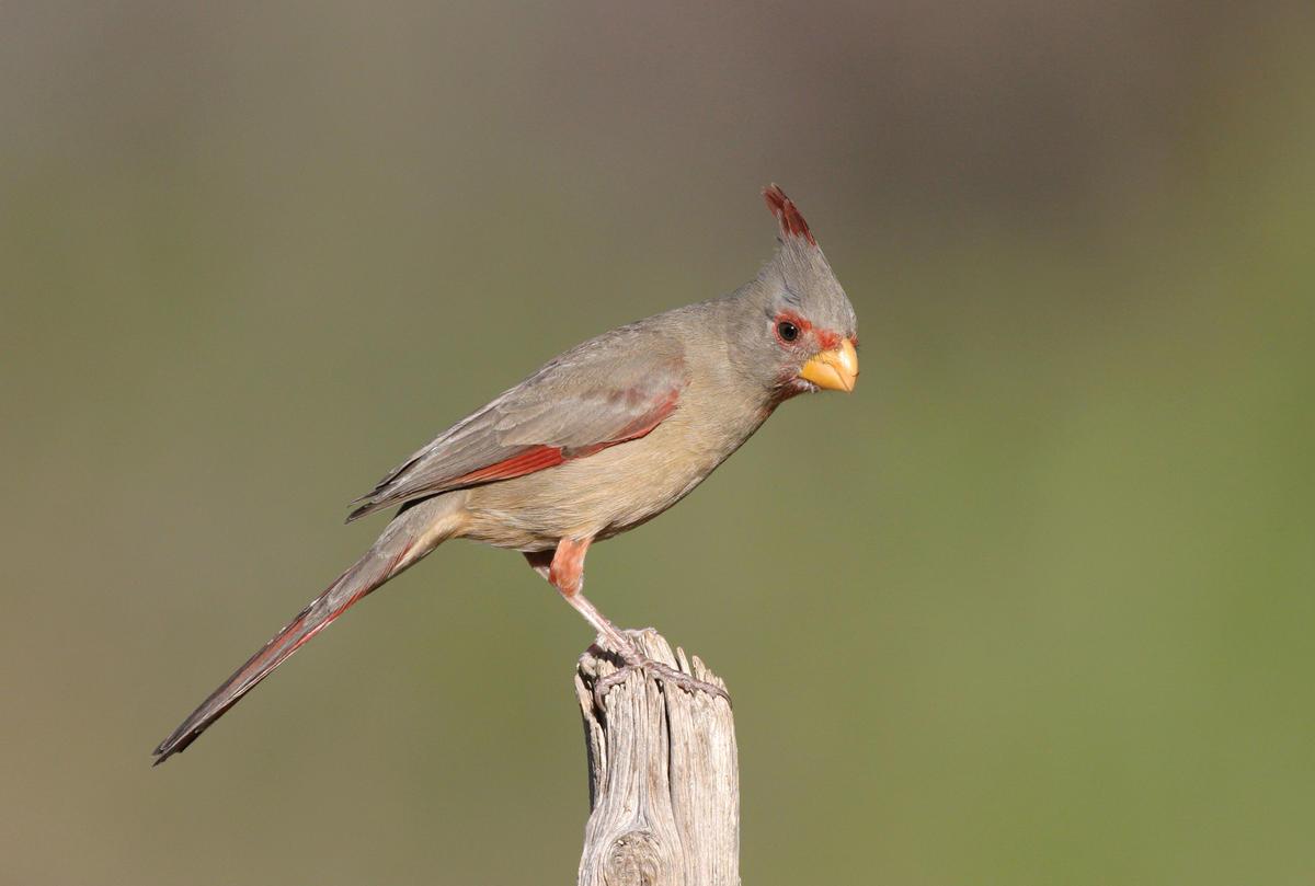 Chim Pyrrhuloxia đang ăn trái cây