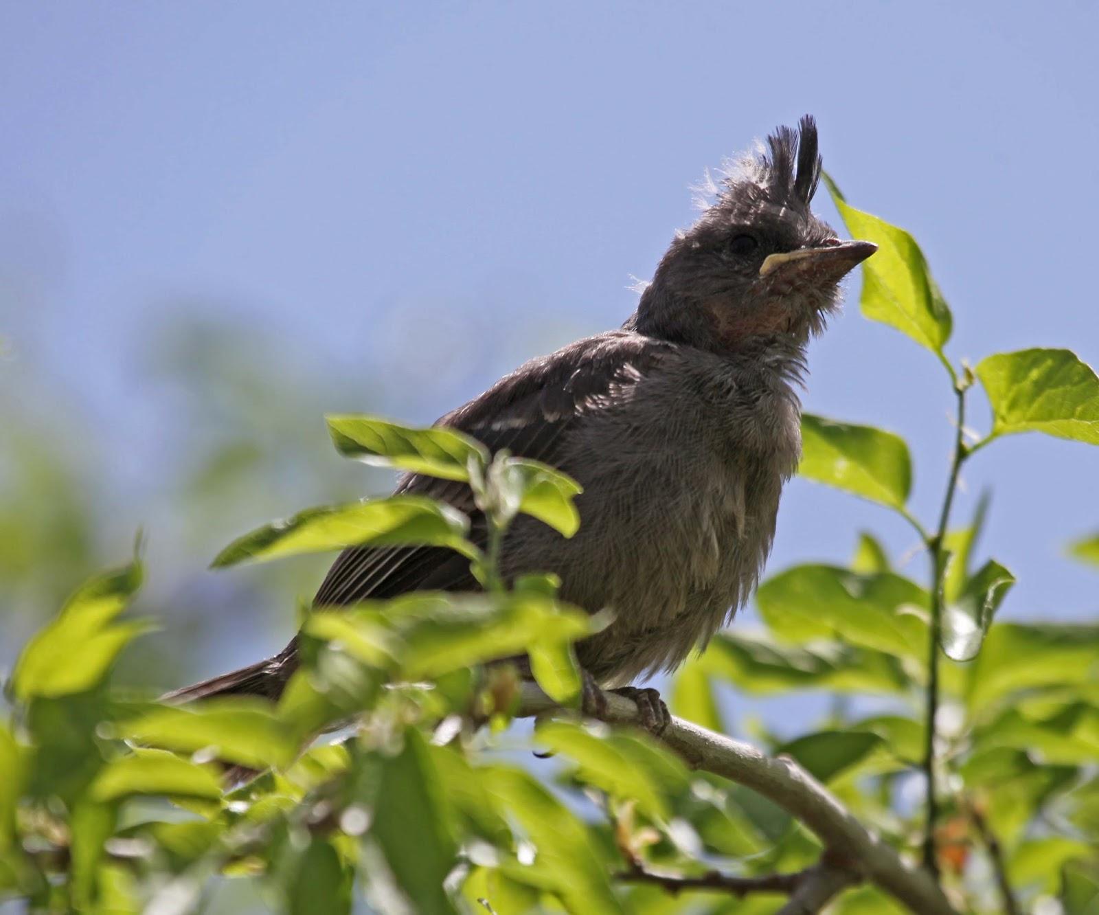 Chim non Pyrrhuloxia