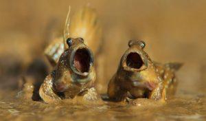 Cá thòi lòi | Loài cá biết trèo cây