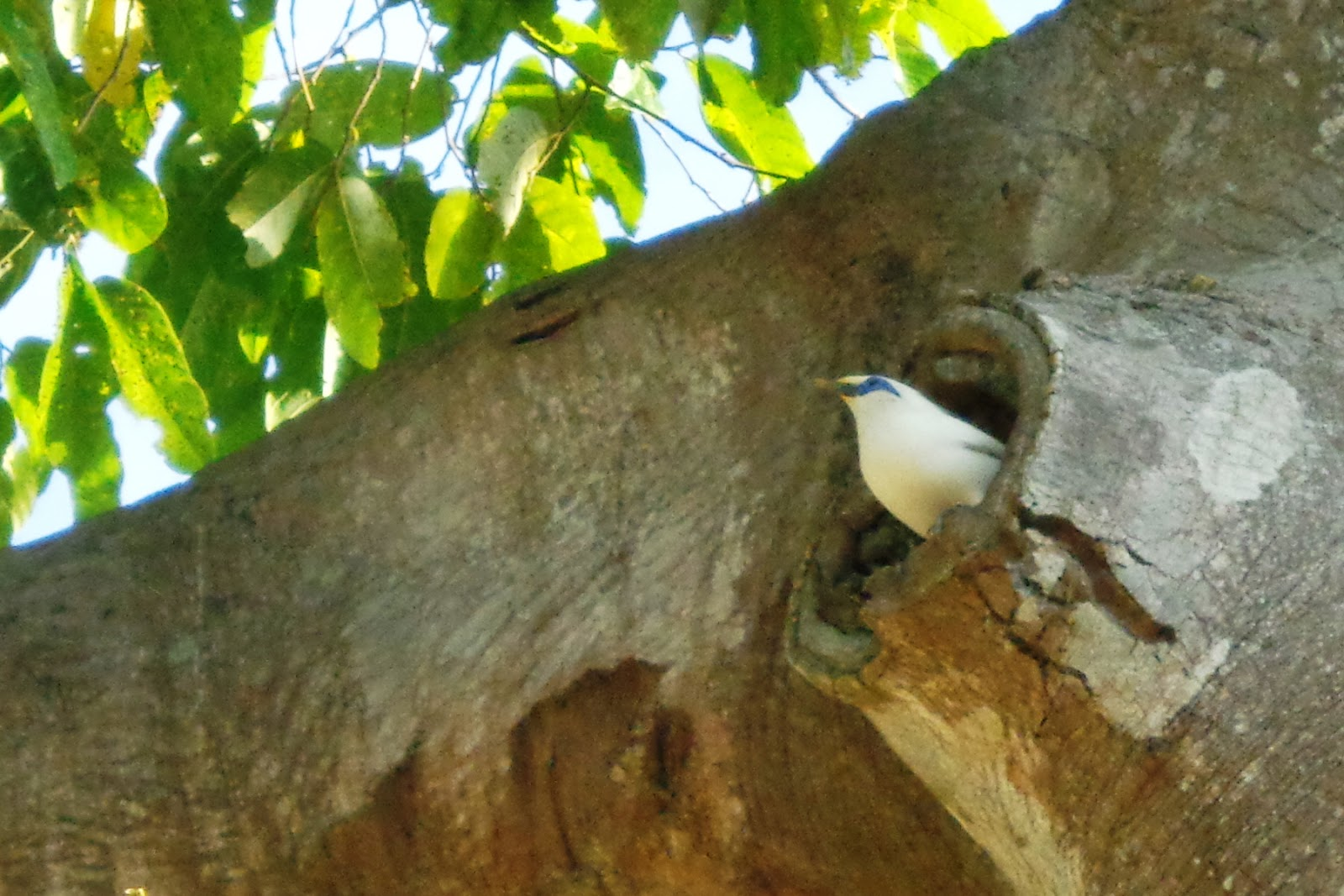 Tổ chim Bali myna