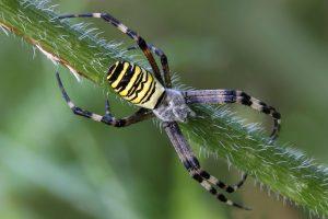 Wasp spider – Nhện cái ăn thịt nhện đực khi giao phối