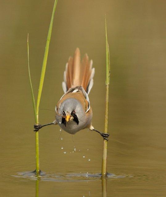 Chim sẻ ngô râu