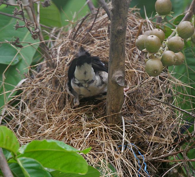 Tổ chim sáo khoang châu Á