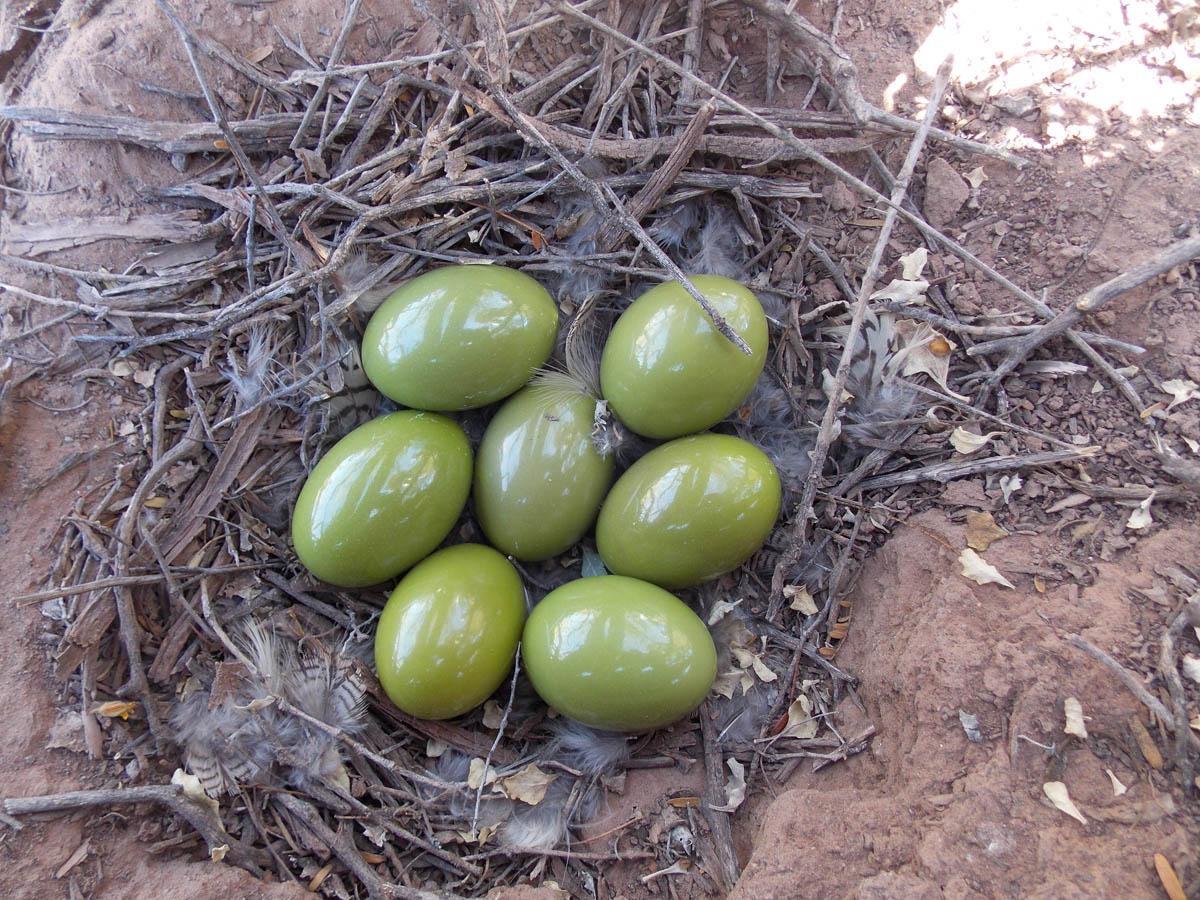 Trứng chim Elegant Crested-Tinamou