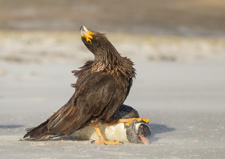 Chim Striated caracara và con mồi