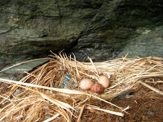 Tổ và trứng chim Caracara
