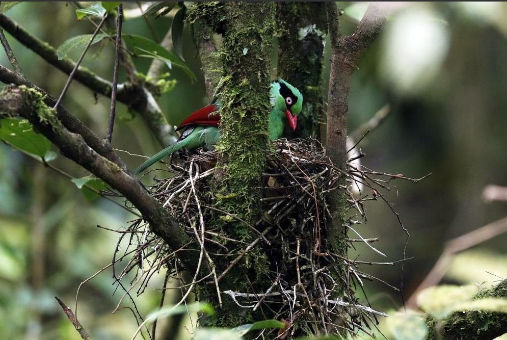 Tổ chim ác là javan xanh