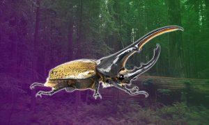 Bọ kiến vương hercules – Bọ cánh cứng dài nhất