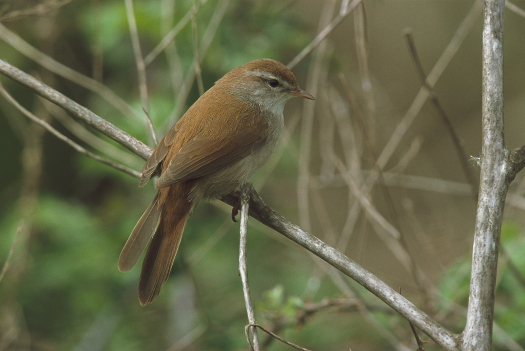 Chim cetti's-warbler