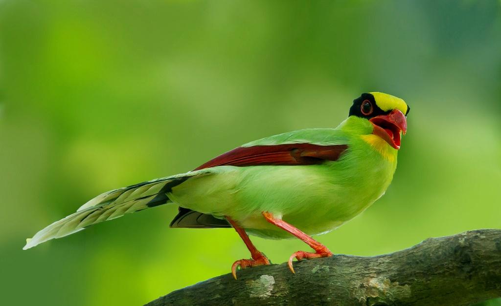 Chim ác là javan xanh
