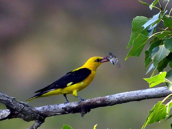 Chim vàng anh
