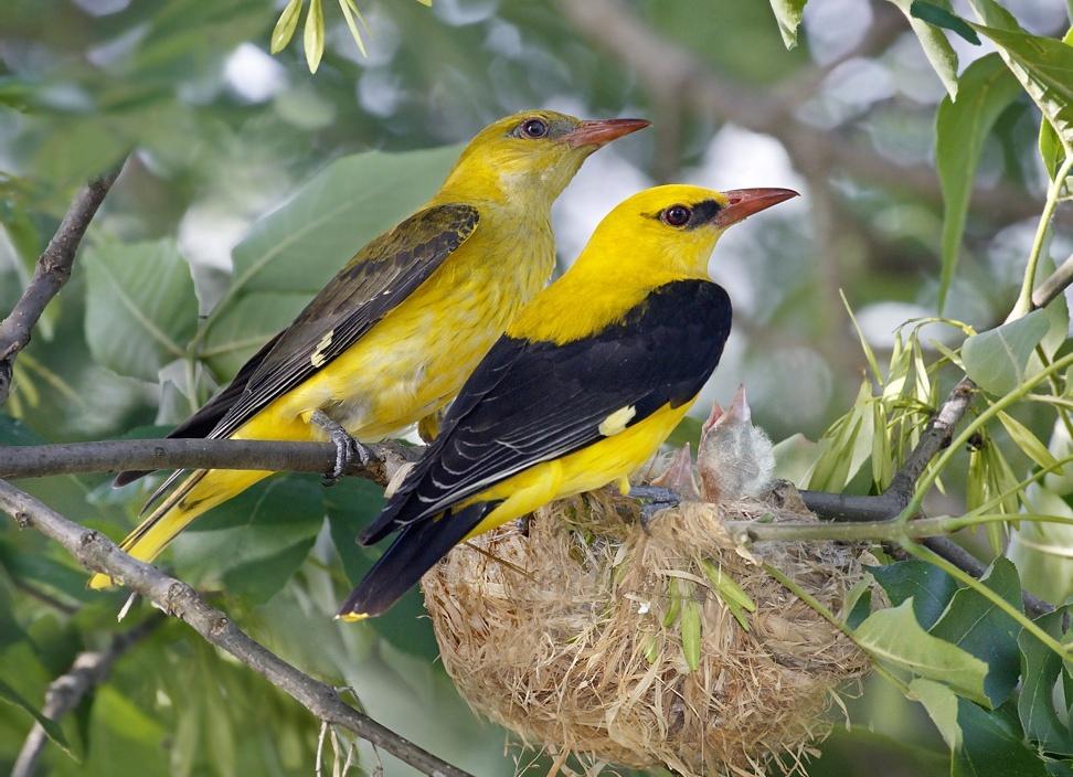 Tổ chim vàng anh