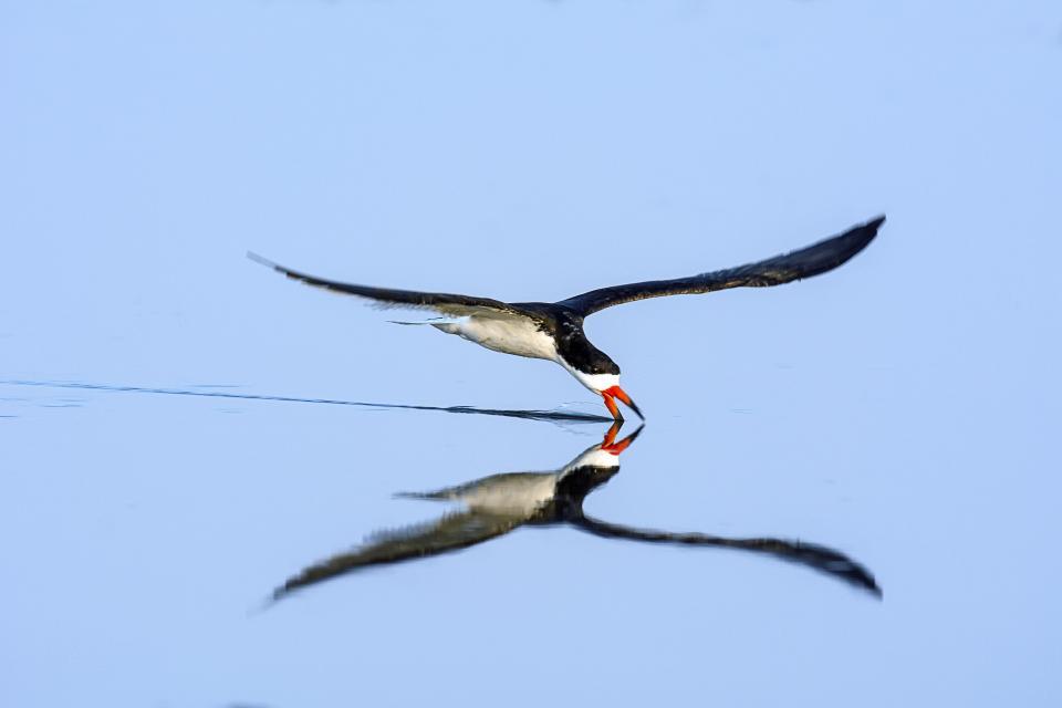 Chim xúc cá đen bắt cá
