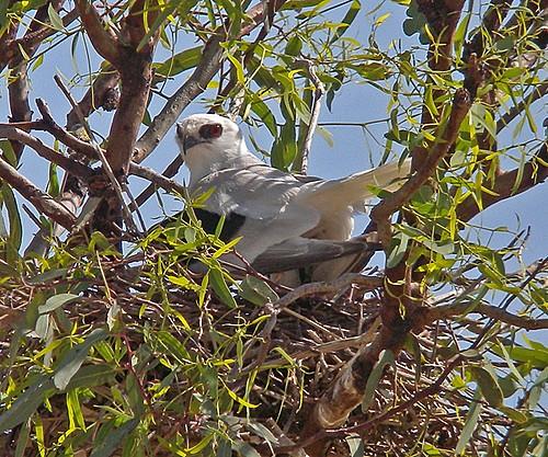 Tổ chim Diều trắng cánh chữ