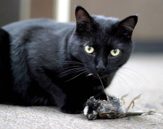 Linh miêu / Mèo đen