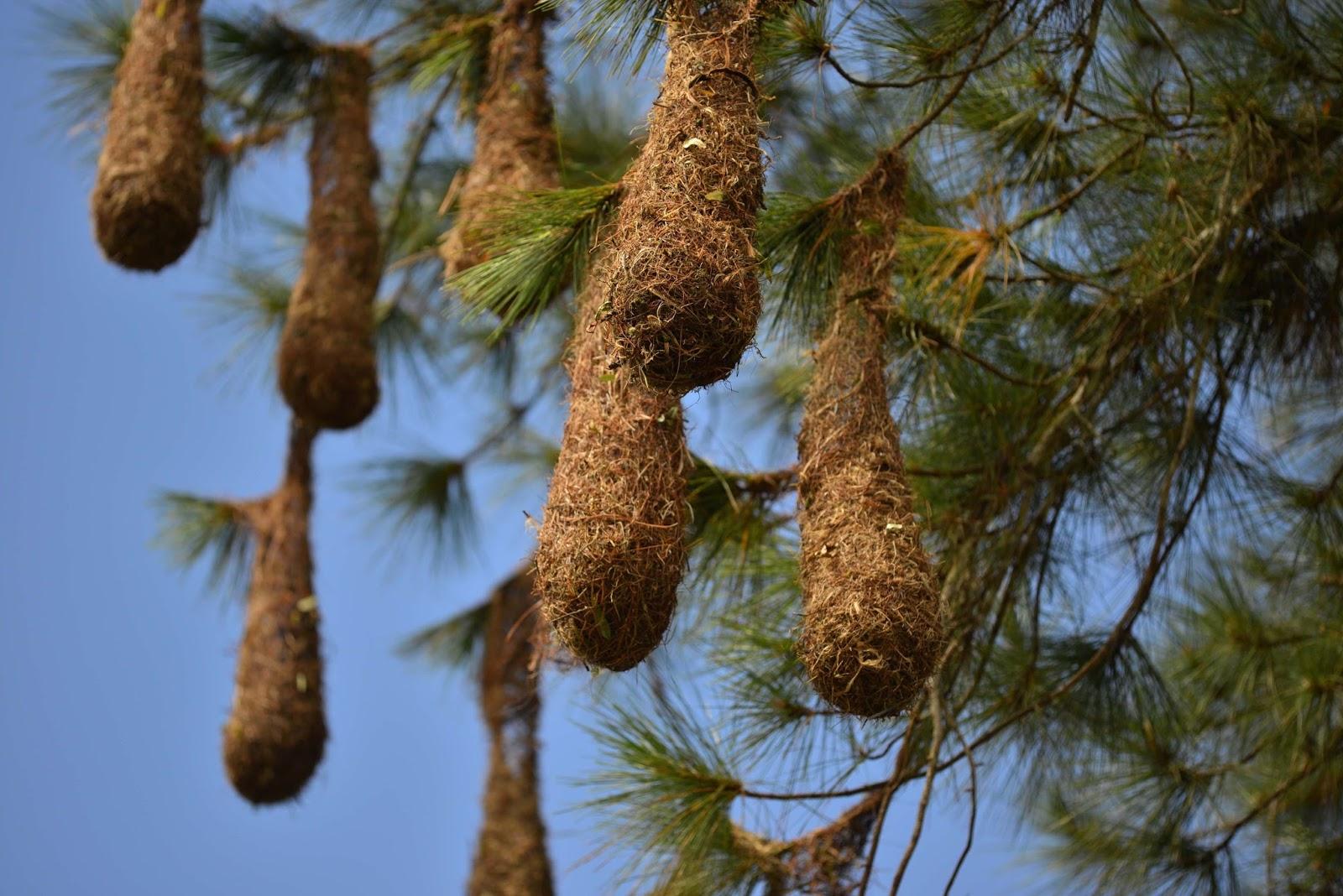 Chim Crested oropendola
