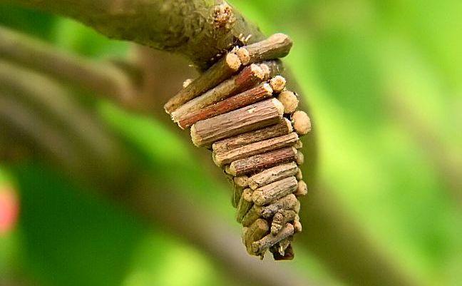 Tổ sâu bướm