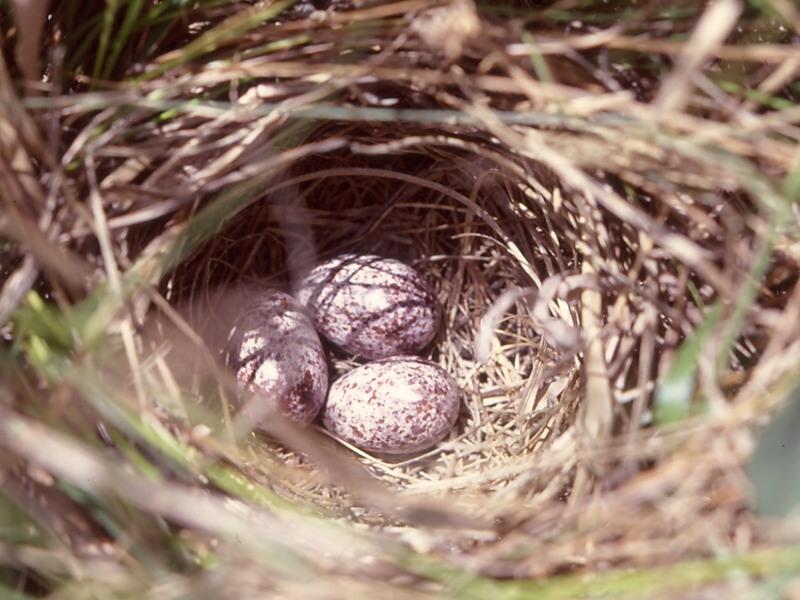 Tổ và trứng chim Brown Songlark