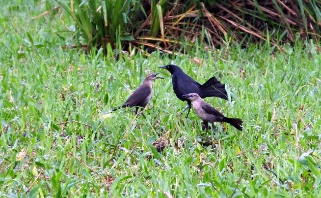 Chim non Great-tailed grackles