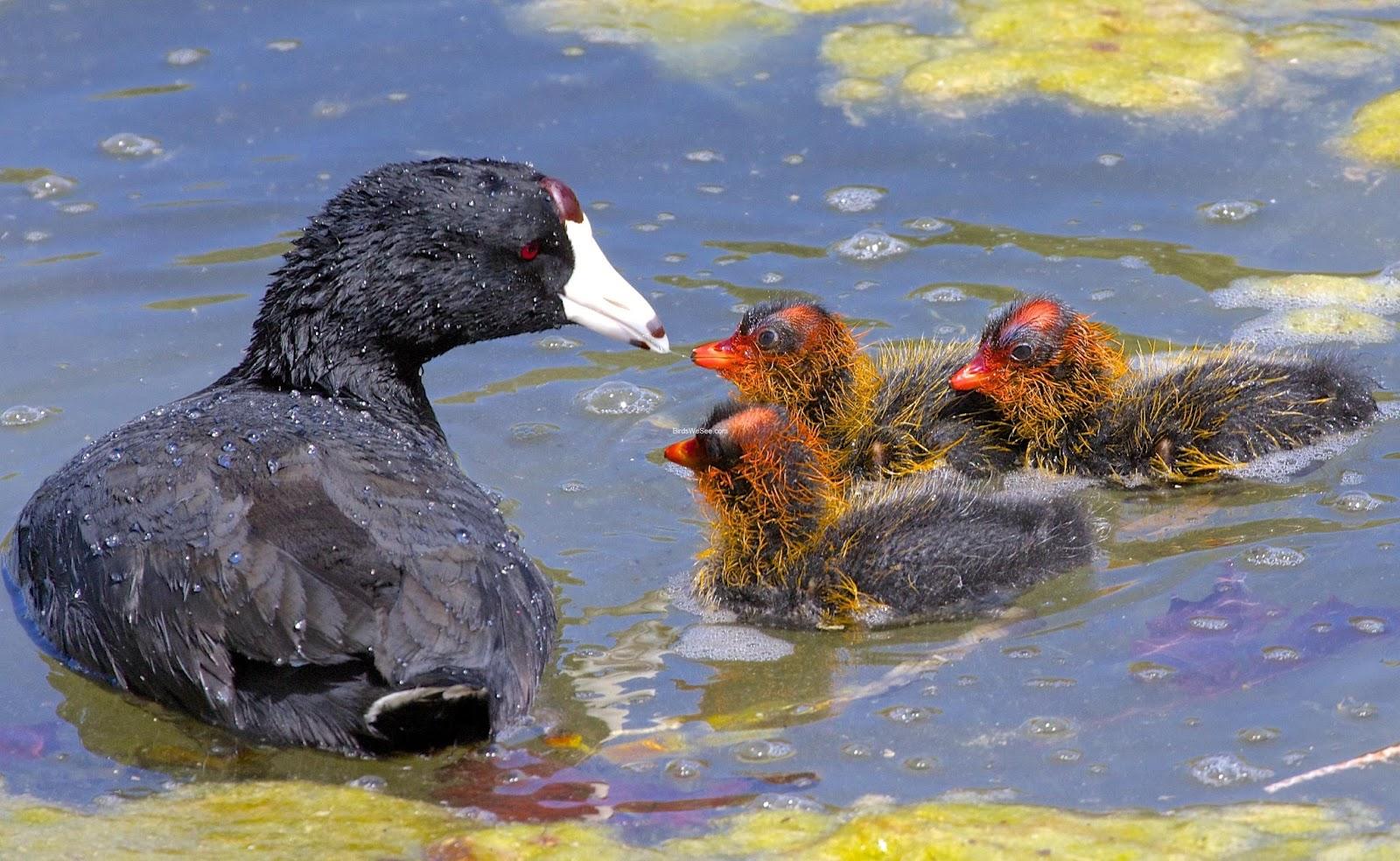 Chim sâm cầm sinh sản